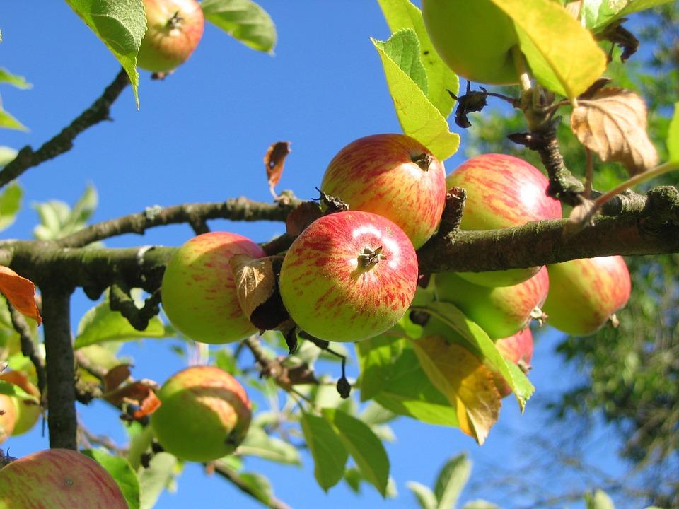 jabuka-kozara-sadnice