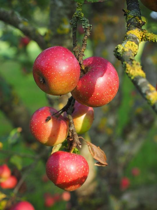 jabuka reneta
