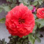 sadnice-ruza-rasadnik-dionis