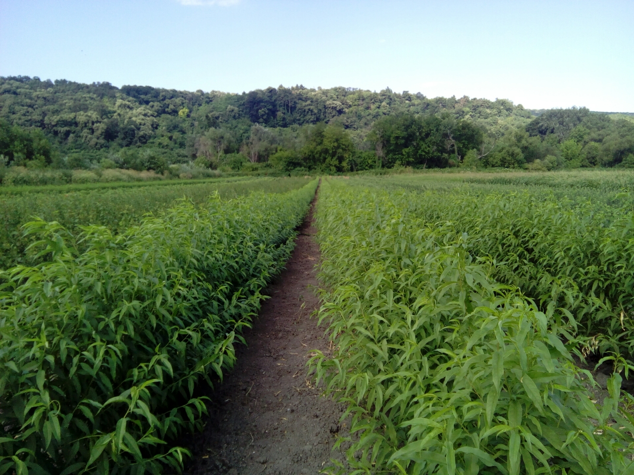 sadnice-voca-breskva