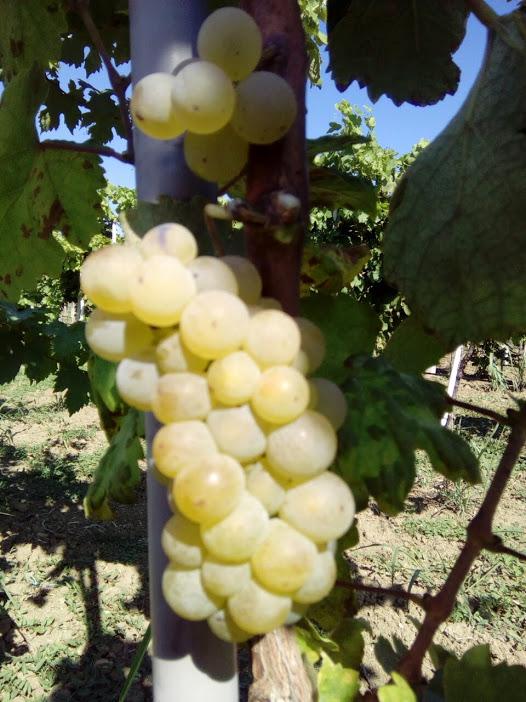 sardone vinska sorta lozni kalem